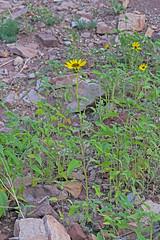 CAD0015535a (jerryoldenettel) Tags: 170602 2017 asteraceae asterales asterids commonsunflower helianthus helianthusannuus nm sanmiguelco trujillohill flower wildflowersunflower