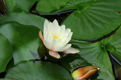 Water lily (jdathebowler Thanks for 1.25 Million + views.) Tags: waterlily white aquaticplant nature