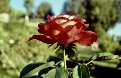 Bellezza al sole (michele.palombi) Tags: rosa fiore film 35mm kodak ultramax400 colortec darkroom