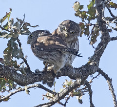 cute couple (hawk person) Tags: glaucidiumgnoma owl
