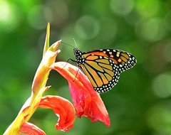 Monarch Butterfly (KoolPix) Tags: monarchbutterfly butterfly insect wings antenna flower colorful koolpix jaykoolpix naturephotography nature wildlife wildlifephotos naturephotos naturephotographer animalphotographer wcswebsite nationalgeographic fantasticnature amazingnature wonderfulbirdphotos animal amazingwildlifephotos fantasticnaturephotos incrediblenature naturephotographywildlifephotography wildlifephotographer mothernature
