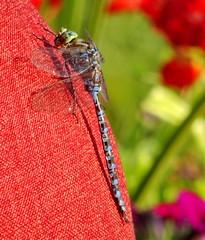 A pretty visitor (peggyhr) Tags: peggyhr dragonfly cushion bokeh closeup blue burnt orangebluebid estates alberta canada carolinasfarmfriends niceasitgets~level1