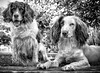 The Guards of the Garden! (Missy Jussy) Tags: mollie molliemunch rupert rupertbear englishspringer springerspaniel spaniel pets dogs dogportrait garden labrugere france trees bokeh blackwhite bw blackandwhite mono monochrome holiday trip travel canon canon5dmarkll 50mm ef50mmf18ll canon50mm fantastic50mm