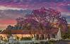 Franschhoek Sunrise (Alexander Michael Hill PhotoGraphics) Tags: franschhoek jacarandatree southafrica sunrise travel winery