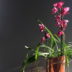 Morning light (Laurian Guy) Tags: grey reflections orchid dark light copper pink green morninglight moody colour orchids flowers