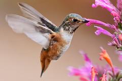 Hummingbird (Life of David) Tags: california camarillo canon5dmarkiv usa wildlife backyard beautiful beauty bird feathers hummingbird nature wings selasphorussasin allenshummingbird agastache summer vogel oiseau uccello pájaro pássaro