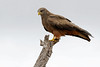 2016 10 14_Yellow-billed Kite-1.jpg (Jonnersace) Tags: yellowbilledkite krugernationalpark lowersabie safari africa milvusaegyptius canon bird raptor