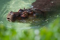 Hippo. (LisaDiazPhotos) Tags: los zoo angeles hippo lisa diaz photos