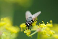 Fliege (johnny.mignot) Tags: fliege mouche yellow jaune gelb green grün vert augen facettenaugen yeux eyes fly mosca macro makro 90mm sony a6000 苍蝇 蒼蠅 cāngyíng му́ха mucha