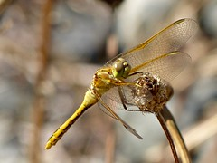 Female Saffron-winged Meadowhawk (WRFred) Tags: dragonfly insect nature washington