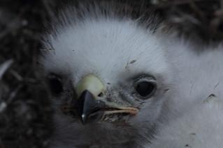 Rough-legged Hawk chick
