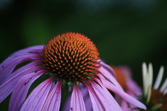 Tranquility (Adam.B.Reid) Tags: nature flower plant purple canon chicago illinois calm beautiful pretty