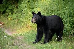 Checking things out... (Megan Lorenz) Tags: blackbear bear yearling bearcub animal mammal nature wildlife wild wildanimals ontario canada mlorenz meganlorenz
