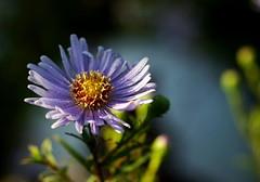 Kissen-Aster 'Blaue Lagune' (dl1ydn) Tags: kissenaster blossom garten nature natur dl1ydn