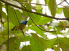 Hedydipna collaris ♂ (Luis G. Restrepo) Tags: suimangaacollarado collaredsunbird hedydipnacollaris ave bird nectariniidae nectarina tanzania africa ngorongoro karatu p2520027 passeriformes