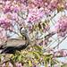 Jamaica Pelican