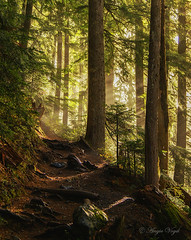 Light in the Forest (color version) (Angie Vogel Nature Photography) Tags: forest trail foresttrail sunbeams fog green trees nature mtrainiernationalpark