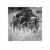 Pilansberg Zebra (iandolphin24) Tags: gvario45200f4056 blackandwhite bw panasoniclumixgf1 lumix