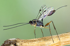 Wasp, F, Braconidae (dorolpi) Tags: wasp