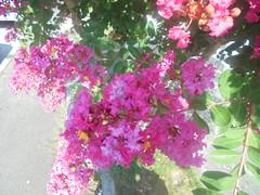 337 (en-ri) Tags: fiorellini little flowers rosa verde foglie leaves sony sonysti arbusto alberello
