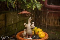 September in the rain (stephenmulvaney) Tags: quince droplets setup ornaments rain