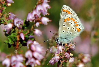 Brown Argus on flowering heather  !!