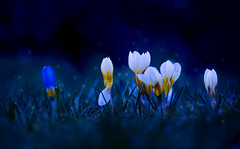 Mitternachtskrokus / Midnight Crocus (aShutterBugsLife) Tags: blumen frühling frühlingszeit krokus krokusse makrofotografie makro blau nacht mitternacht kitsch kitschig nature macrophotography macro closeup spring springtime flowers crocus crocuses blue night cheesy photoshop midnight adobephotoshopelements pse nikond3200 d3200 nikon nikkor