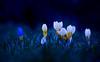 Mitternachtskrokus / Midnight Crocus (aShutterBugsLife) Tags: blumen frühling frühlingszeit krokus krokusse makrofotografie makro blau nacht mitternacht kitsch kitschig nature macrophotography macro closeup spring springtime flowers crocus crocuses blue night cheesy photoshop midnight adobephotoshopelements pse nikond3200 d3200 nikon nikkor