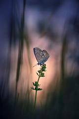 Kind der Sonne. (Markus1224) Tags: butterfly schmetterling macro makro gegenlicht backlight blue lycaenidae bläuling nature reserve germany badenwürttemberg nikon d5500 sunset sonnenuntergang dof raw abstrakt abstract surreal bokeh