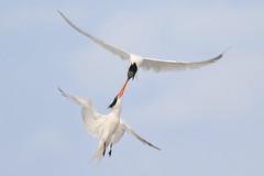 Battle of the beaks! (bmse) Tags: elegant terns bolsa chica canon 7d2 400mm f56 l bmse salah baazizi wingsinmotion