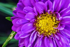 Aster - close up (krystyna p) Tags: purlpe closeup bokeh nikon nikond750 aster yellow drop water waterdroplet