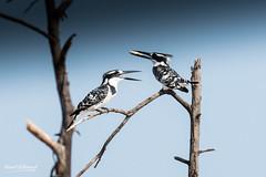 500_2973.jpg (Laurent LALLEMAND) Tags: kenya coraciiformes continentsetpays afrique baringo oiseaux alcedinidae alcyonpie piedkingfisher martinpêcheurpie cerylerudis africa ke ken