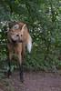 Maned wolf (Cloudtail the Snow Leopard) Tags: mähnenwolf tier animal zoo tiergarten nürnberg nuremberg mammal säugetier hund wildhund chrysocyon brachyurus maned wolf dog