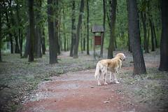 IMG_0289 (BernaPhotography) Tags: dog pet labradorretriever lab yellow forest woods serbia