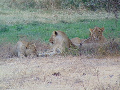 DSC00417 (francy_lioness) Tags: safari jeep animals animali ippopotami leone savana gnu elefante iena pumba tanzaniasafari ngorongorocratere gazzella antilope leonessa lioness facocero