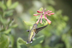 Beauty! (Connie Etter Photography) Tags: 2017 migration hummingbird bird honeysuckle flower flight eat indiana canon 1dx