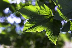 Leaves (strumswell) Tags: summer green sun leave bokeh blue light