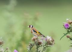 GoldFinch (  Carduelis carduelis ) Male (Dale Ayres) Tags: goldfinch carduelis male bird nature wildlife