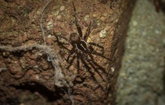 small spider (dustaway) Tags: arthropoda arachnida araneae araneomorphae australianspiders spinne araignee tamborinemountain mounttamborine sequeensland queensland australia miturgidae