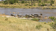 Migracao GNU - Travessia do Rio Mara 19 (Joao Pena Rebelo) Tags: tanzania gnus wildebeest migration safari serengeti wildebeests marariver