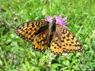 Butterfly 1436