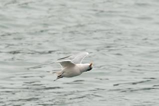 DSC_4782.jpg Elegant Tern, Moss Landing