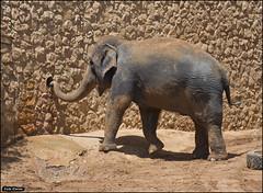 Asian Elephant in Jerusalem-Biblical-Zoo-IZE-303