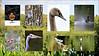 Stover - 20170919 (PAUL YORKE-DUNNE) Tags: collage birds avian stoverpark naturereserve canon7dii sigma50500lens corelpsp picasa flora fauna