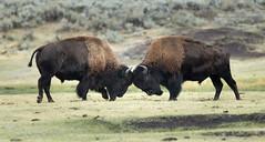 Bison, Yellowstone National Park (photovansoest | nature & wildlife photography) Tags: bison mammals travels usa yellowstonenationalpark yellowstone zoogdieren amerika wildlife wild