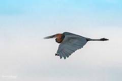 500_3941.jpg (Belzé) Tags: hérongoliath continentsetpays afrique baringo oiseaux goliathheron pelecaniformes ardeidae kenya ardeagoliath africa ke ken