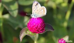 COMMON BLUE BUTTERFLY |  PAPILLON ARGUS BLEU  |  ARGUS AZURE  |  POLYOMMATUS ICARUS  |    MONTREAL   |  QUEBEC  |  CANADA (C. C. Gosselin) Tags: common blue butterfly | papillon argus bleu azure montreal quebec canada polyommatus icarus canon7dmarkii canon 7dmarkii 7d markii mark ii canoneosrebelt2i canoneos7d canon7d eos7d canoneos eos rebel t2i ph:camera=canon