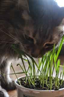 Cat Grass Bliss