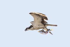 Osprey with fish...6O3A0157CR2A (dklaughman) Tags: osprey fish assateagueislandnationalseashore maryland bird