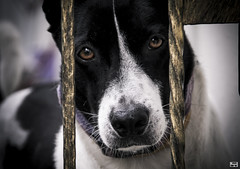 Awaiting... (c o r d e l i a c h e w) Tags: dog pet photography emotion waiting closeup shallow depth field mixbreed fencing gate canon eos 600d outdoor lovely cute good loyal buddy awesome friend